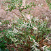 """salix integra cultivar """"hakuro-Nishiki""""."""