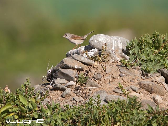Curruca tomillera Sylvia conspicillata orbitalis, Ssp.♀