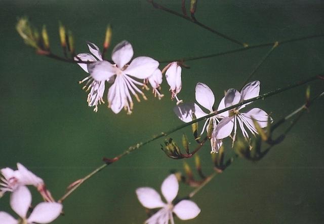 rêve en blanc- Gaura blanche