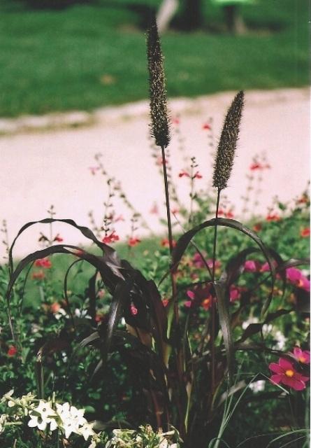 Millet décoratif