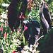 """colocasia esculenta """"black magic"""""""
