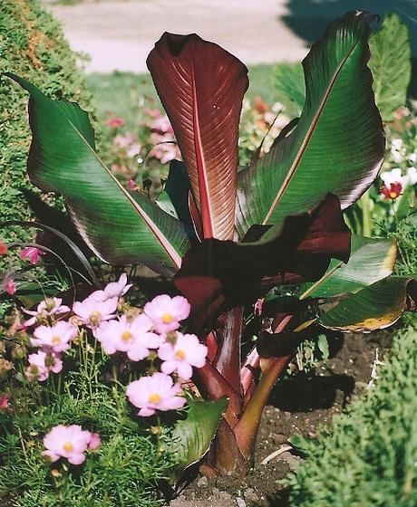 Ensete ventricosa maurelli - bananier rouge 9965368.0c4f179c.560