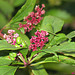 "Just interesting...  ""Pokeweed, Phytollacca """