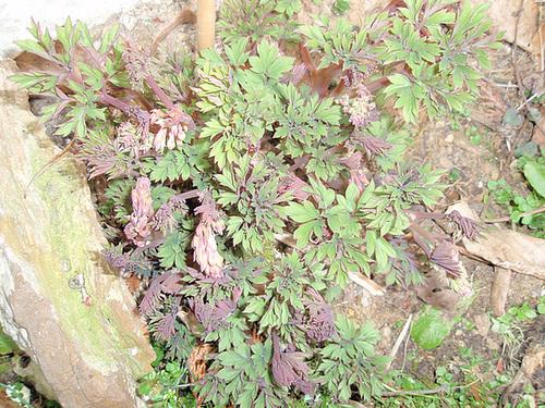 dicentra spectabilis P3250226