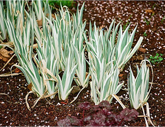 Iris pallida albovariegata