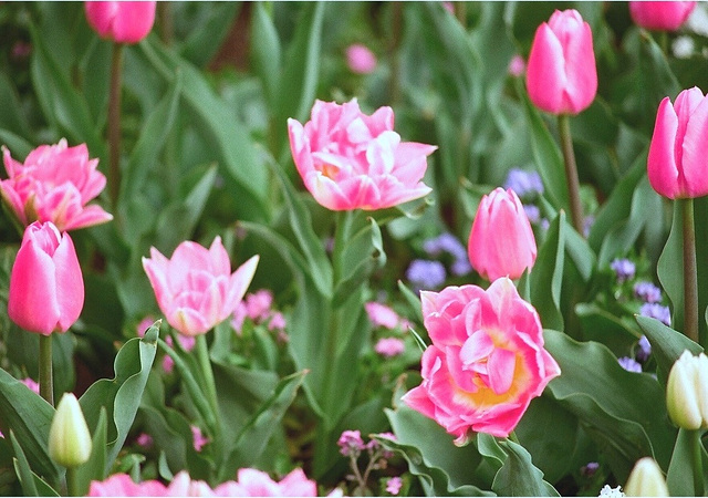 Tulipes doubles roses