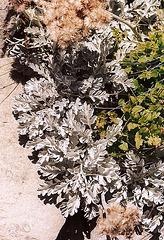 Senecio leucophylla- Mézenc