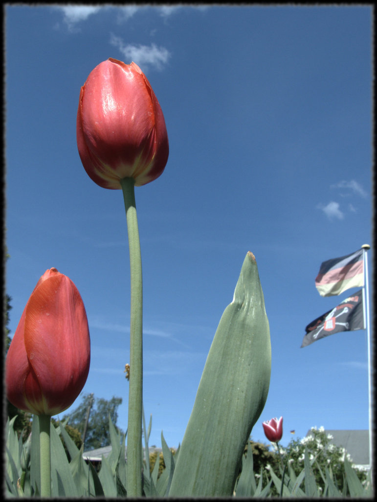 Tulip with flag