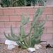 Cactus (01414A)