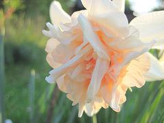 rosa Narzissenblüte