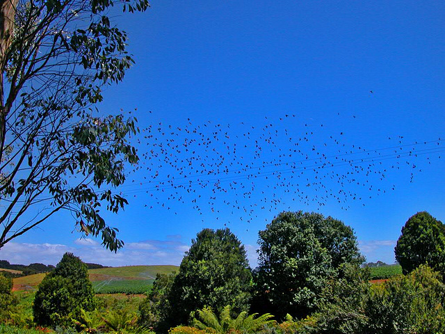 A flock of birds over the hilly landscape