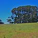 Giant Eucalyptus trees