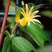 P. citrina 6