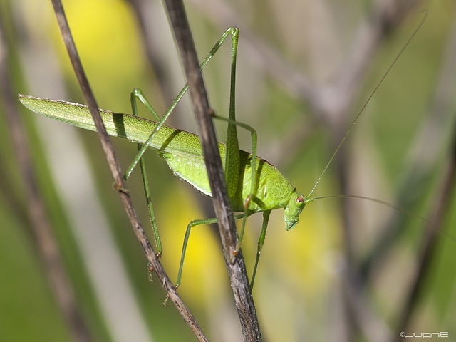 Phaneroptera falcata, (♂)