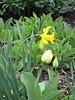 Narzisse und helle Tulpe