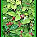 More Wild berries. .