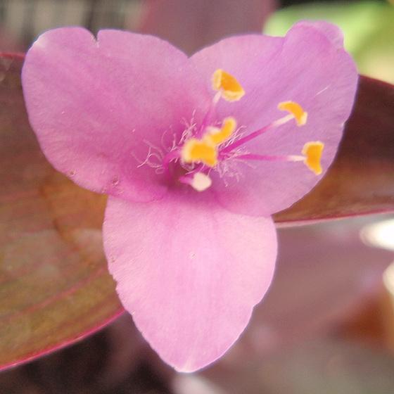 Tradescantia pallida (= Setcreasea purpurea) - misère pourpre 9906124.2a75523e.560