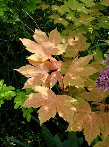 Acer pseudoplatanus ' Brillantissimum'
