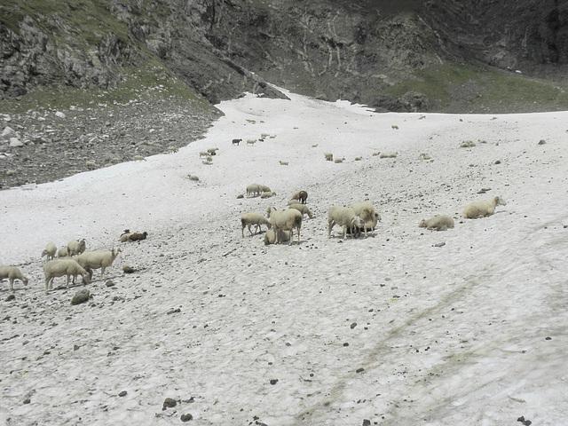 186 moutons sur la neige
