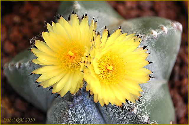 Astrophytum myriostygma