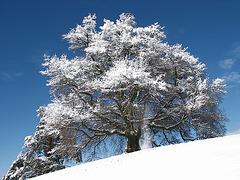Zundelbacher Linde im Winter 2010