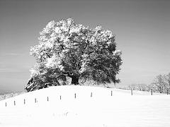 Zundelbacher Linde in  black and white