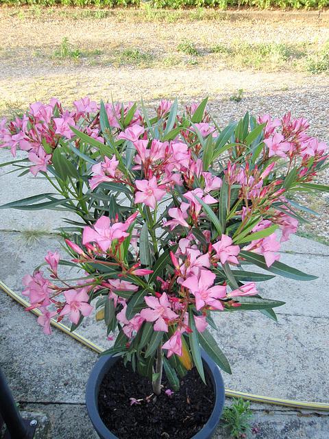 nerium oleander P7080072