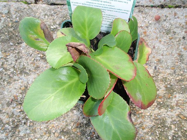 bergenia cordifolia PB070033