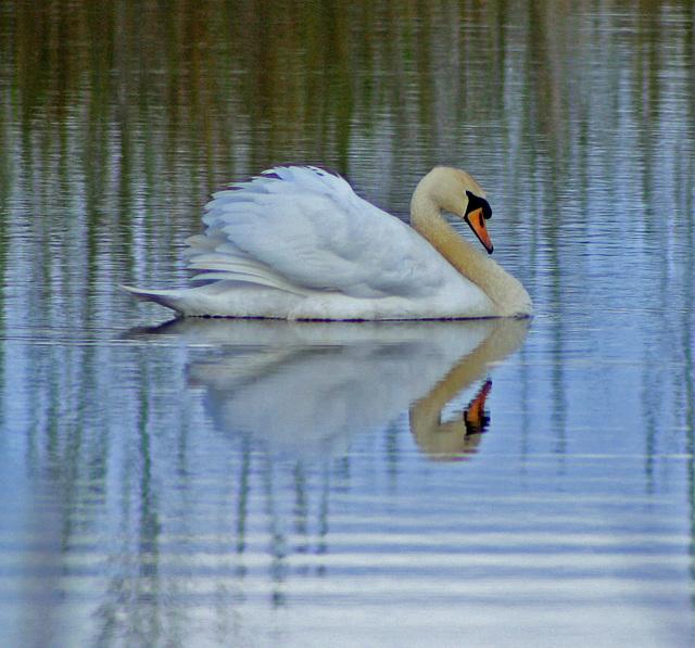 peaceful swan