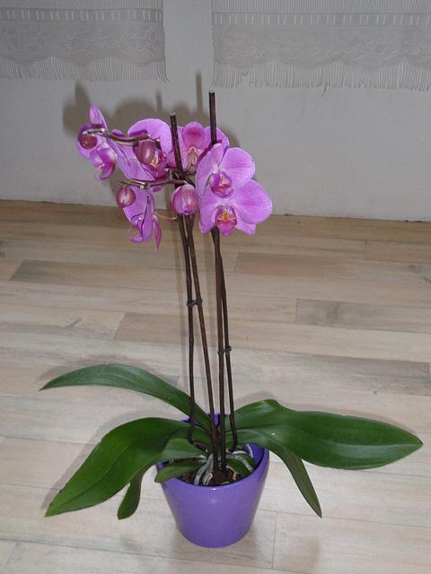 phalaenopsis P1310249