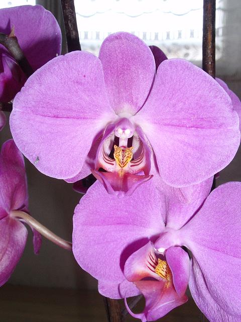 phalaenopsis P1310250