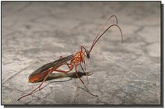 Ichneumonidae (Ophion sp.)
