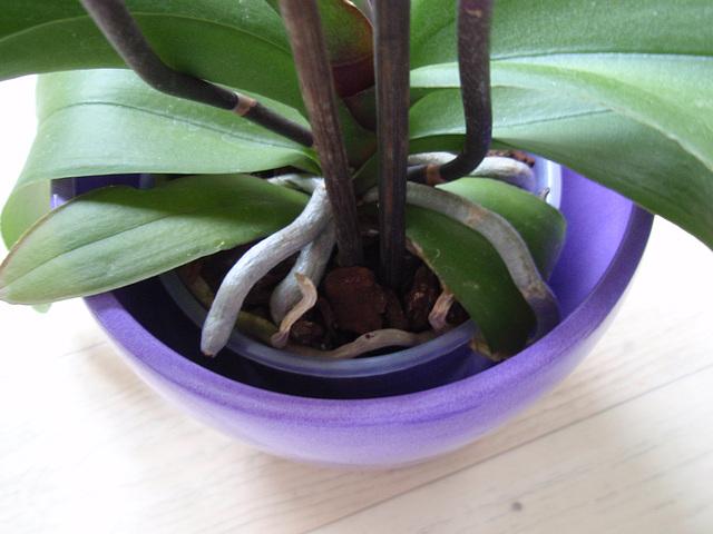 phalaenopsis P1310254