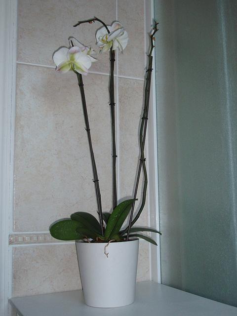 phalaenopsis P2030281
