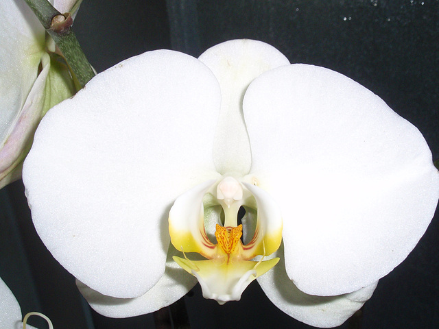 phalaenopsis P2030282