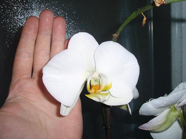 phalaenopsis P2030295