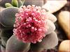 Crassula morgan pink