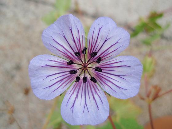Geranium : espèces et variétés 9846961.56866290.560
