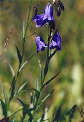 Campanula linifolia