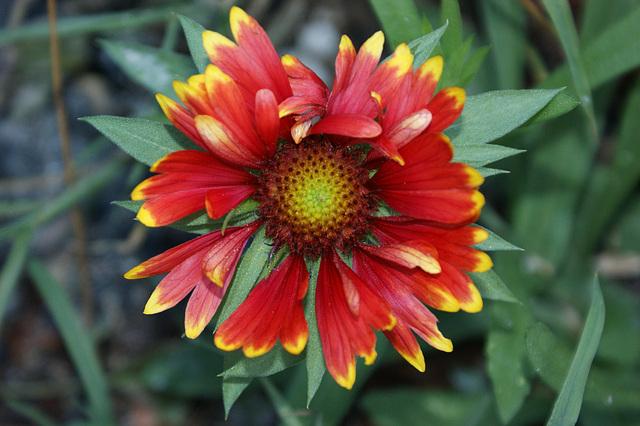 fleur de jardin. Flower Garden.