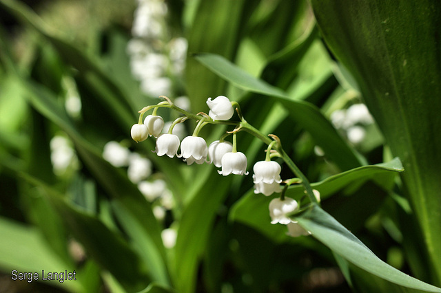 Muguet. lily of the valley