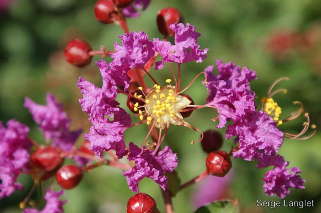 Arbuste en fleurs. Shrub in flowers