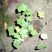 Geranium : espèces et variétés 9847354.6cc08f4d.75x