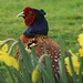Pheasant in springtime