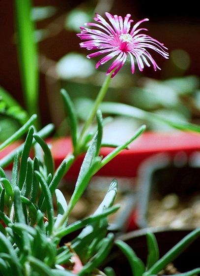 Aizoaceae du jardin  9827492.0d1cf278.560