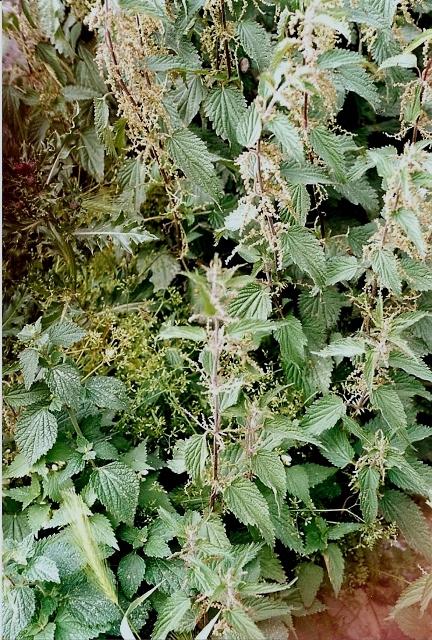 Rud rales plantes des d combres et friches enrichies en for Plante urticante