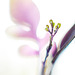 Jasminknospen - jasmine buds
