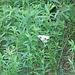 Greenery around lacey flower