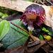 Corysanthes diemenicus