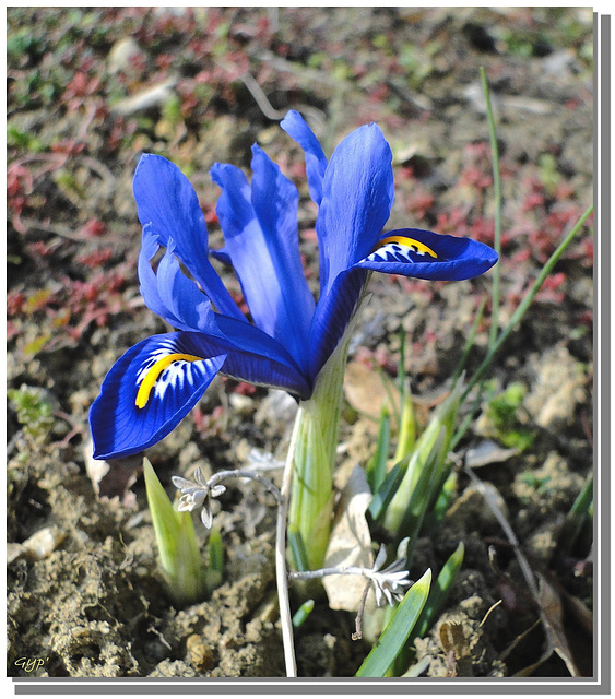 Iris reticulata blue